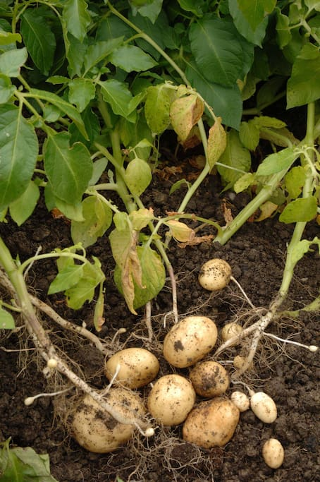 New Spuds just dug up in our Vegetable garden