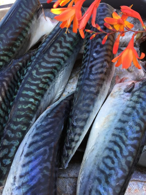 Mackerel caught on a line under the cliff, the freshest  you will find