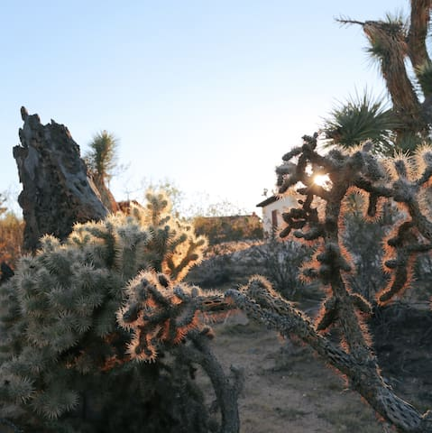 Sunset through cholla cacti looking towards the house