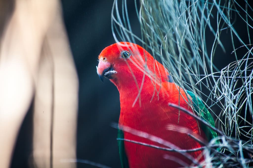 One of our avian occupants (king parrot) plus we have plenty of wild kings visiting our aviaries.