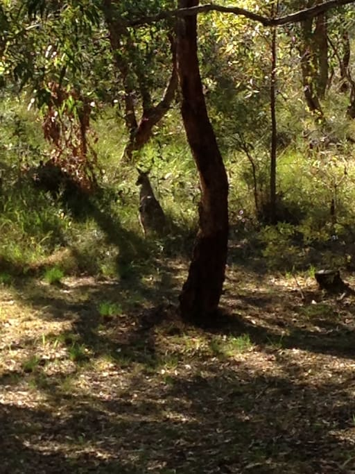 Back yard view with resident kangaroo - can you see her?