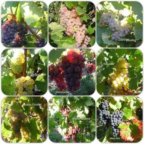 Les cépages du vignoble Alsacien
