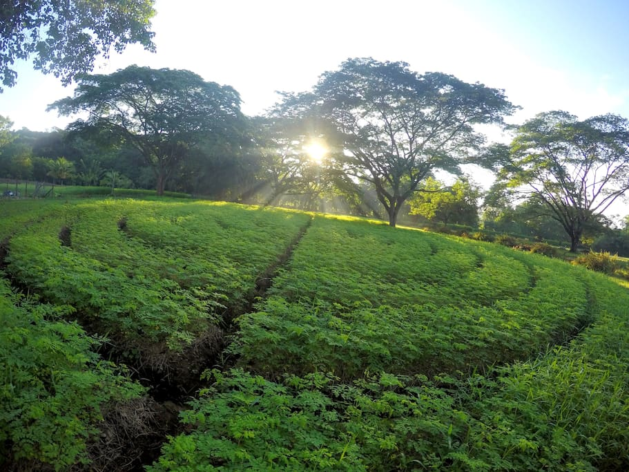Jagual Organic Farm located 2 min from the Jagualodge. Here is a field of Moringa, the main superfood we produce at the Farm.