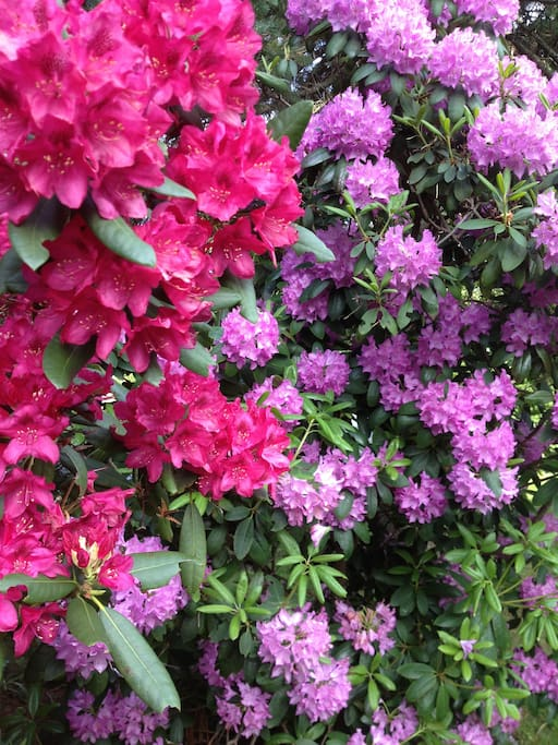 Rhododendrons Galore hugging the driveway!