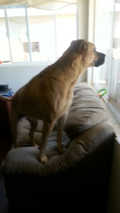 This is my dog Bella looking out the front window.