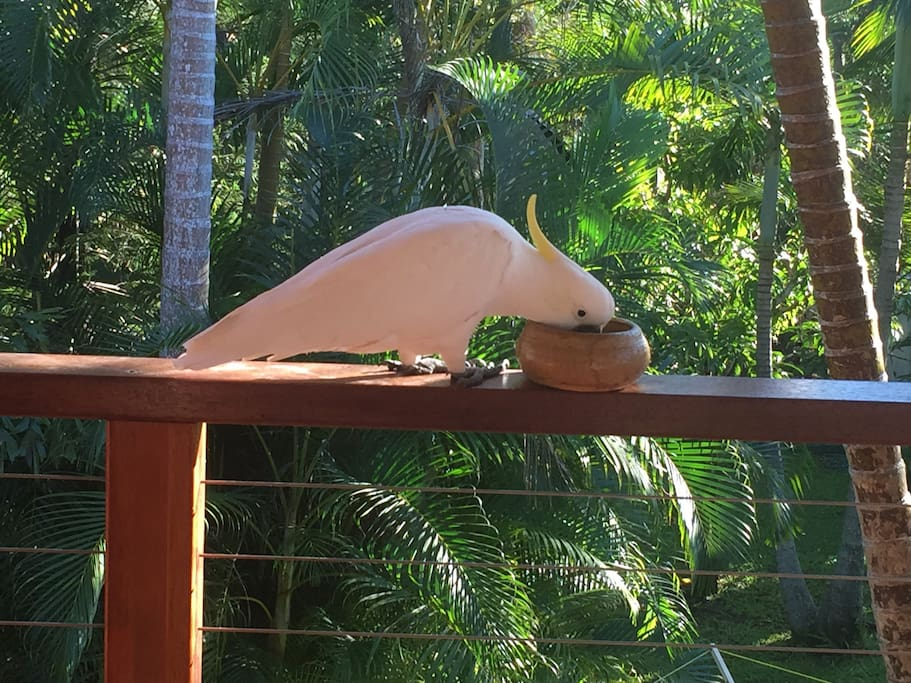 Wild Cockatoo feeding on large rear deck, tranquil setting