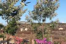 Olive trees and bougainvillea  live happily together here in our Mediterranean climate.