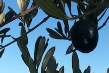 One of our many beautiful olive trees.