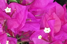 Colorful bougainvilleas abound on our ranch.