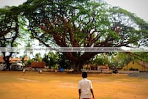 MOTHER TREE FRONT VIEW( HISTORICAL SANTA CRUZ GROUND)
