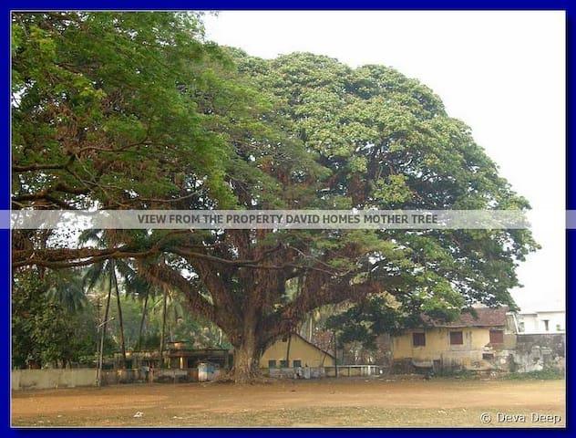 MOTHER TREE FRONT VIEW (HISTORICAL SANTA CRUZ GROUND)