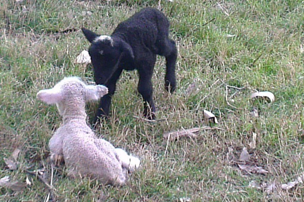 Meet and feed Merino Lambs
