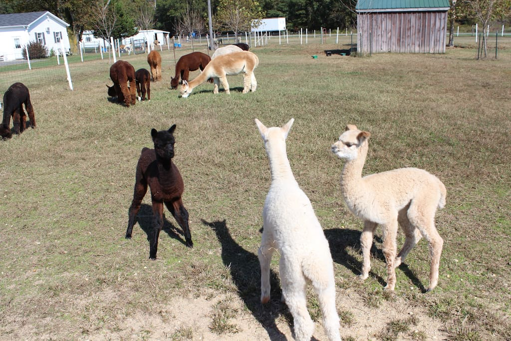 There is a nearby Alpaca Farm with a neat little shop selling wooly things