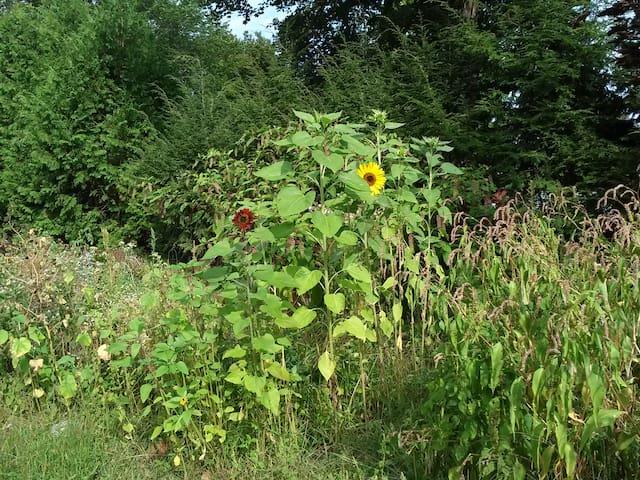 September sunflowers in the garden