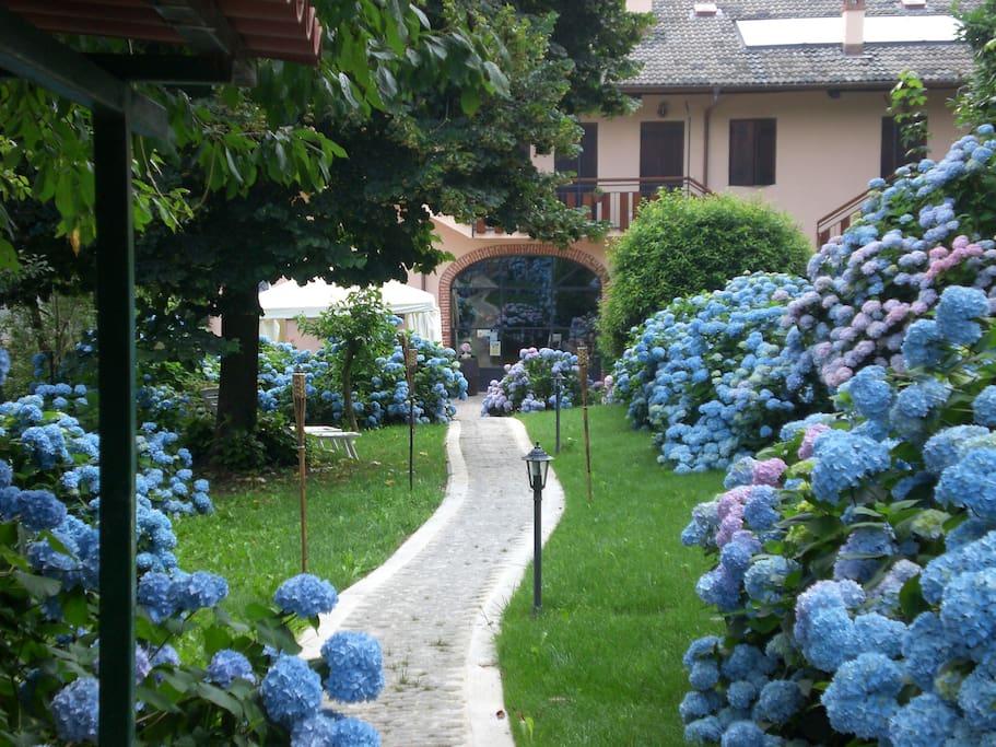 fioritura delle ortensie a Luglio