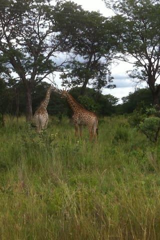 Giraffe seen at the lodge