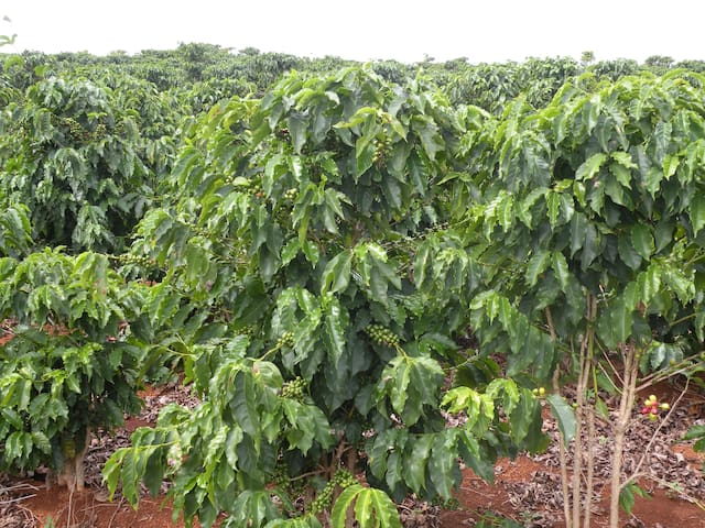 vista do plantio de café na fazenda