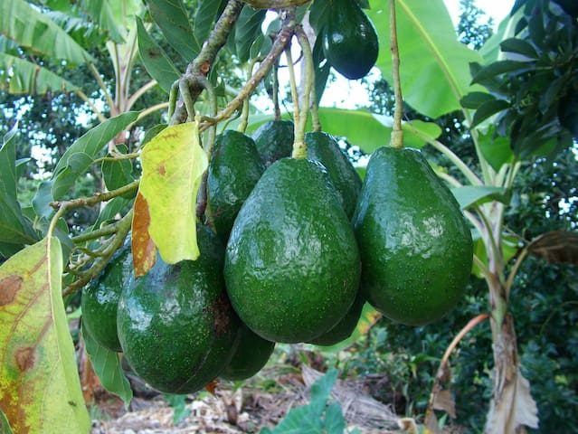 Avocados ( as well as mangoes, grapefruits, tangerines, coconuts, soursop, almonds, etc.)  there to sample