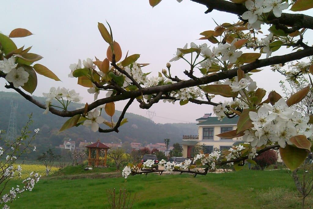 春天里,梨花、油菜花盛开