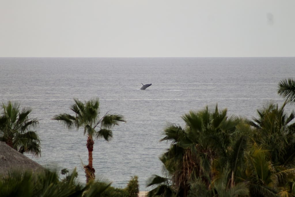 Whale breaching that you can see from the 3rd floor!