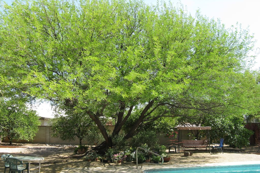 The old Grandfather Mesquite helps shade the back yard.