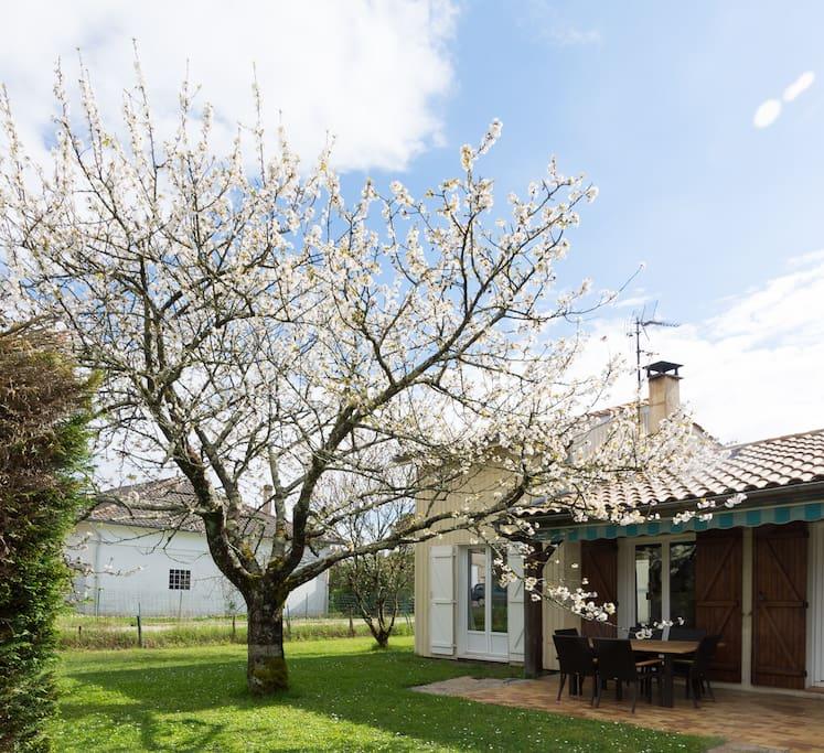 Le cerisier en fleur et la terrasse