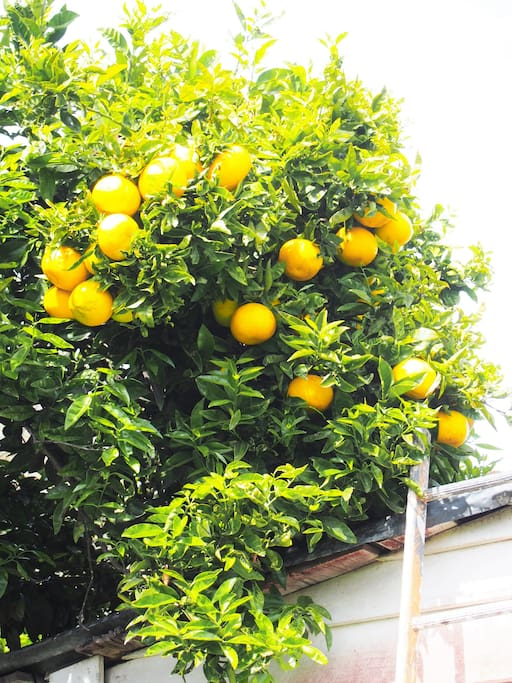 Lemons grapefruit for your use.  Pick a fresh one for your fish and chips!