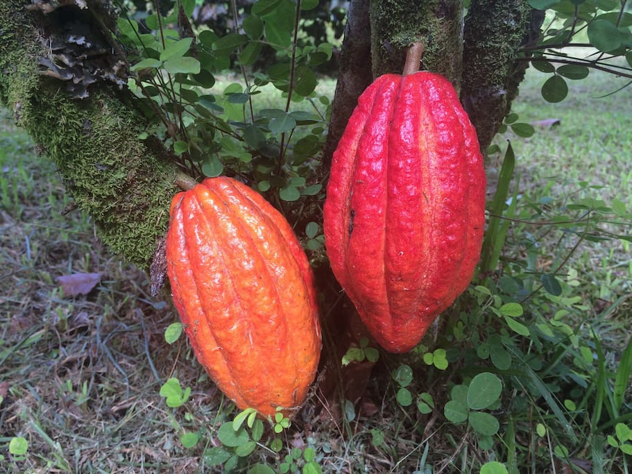 Cocoa Tree in the backyard