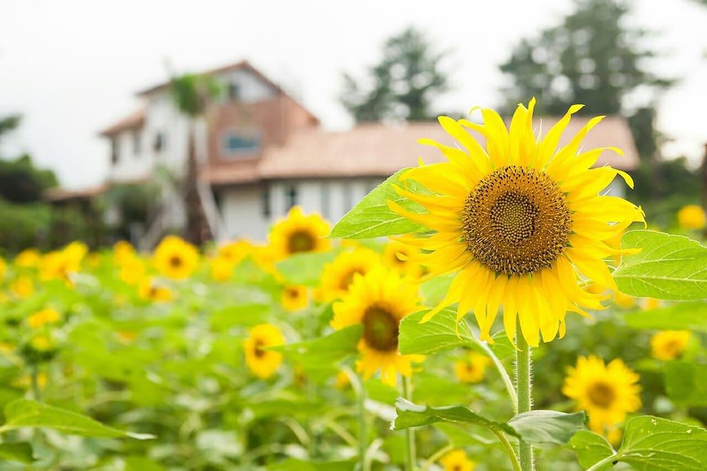 정원 앞마당  해바라기꽃밭 포토존으로  넘 예쁩니다. 또한  봄에는 이자리에  유채꽃이  가득  피어납니다.