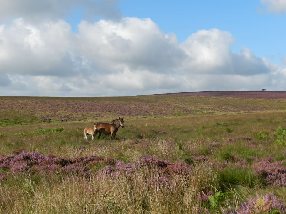 Exmoor pony and foal on the Moor