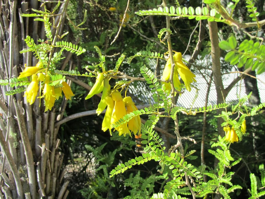 Native Kowhai tree flowering in September