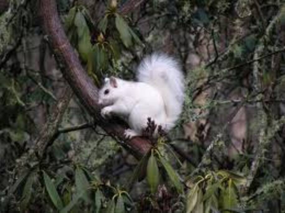The famous Transylvania County white squirrel