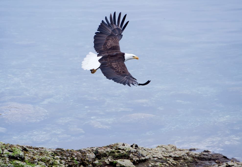 Eagle flying off 10 feet in front of the house after eating a fish.