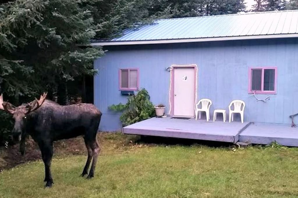 Late-season moose stops by.