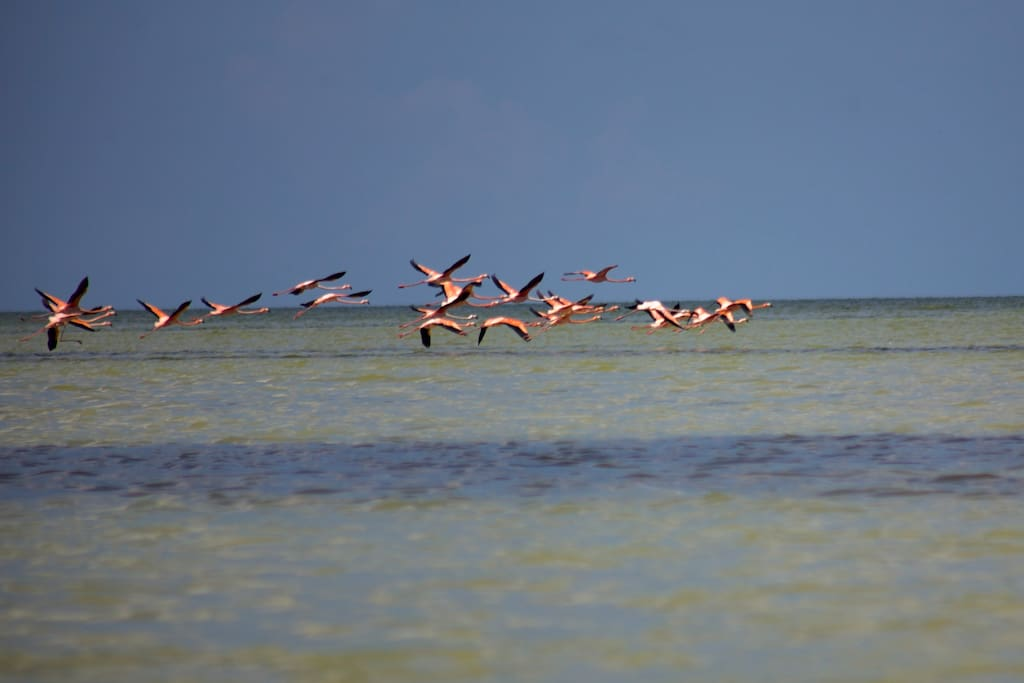 Flamingos at Isla Blanca. Isla Blanca is a local beach near Cancún is a 20 to 30 minutes trip (in car)  from downtown Cancún, you can also take a 25km (15.5mi)  bicycle ride to get there, in this beach you can enjoy being alone at an almost virgin beach, no hotels, few people, no many tourist, few cars, and an incredible nature landscape and nature sound. Is important for you to know that Isla Blanca is surrounded by water by one side you can enjoy the salty ocean water and by the other you can enjoy the also salty but calm lagoon water. YOU CAN CAMP IN HERE! (I can't guarantee you to see flamingos)