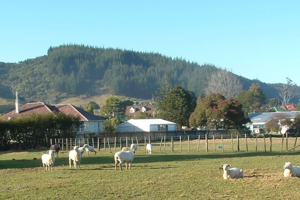 Sheep grazing in paddocks