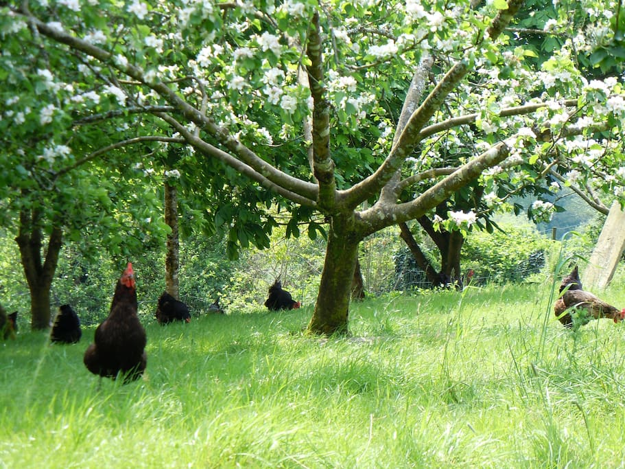 Hens in the orchard