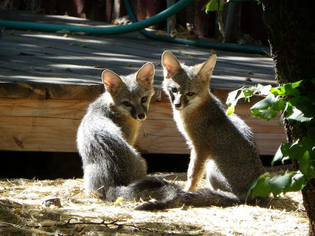 Say hi to the foxes near the Spaza Shop