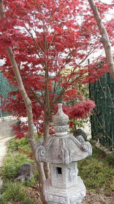 Acero giapponese in giardino