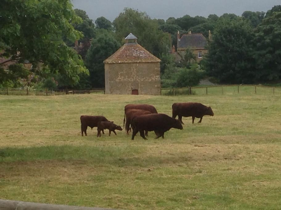 The new herd of Red Devons with the Dovecote in the background.