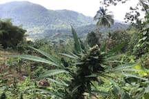 Ganja Farm Tour anyone?  Shores A'Swell offers individual tours and tour packages that can be purchased online!