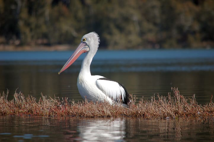One of the many Pelicans often seen on the lake