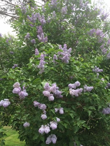 Numerous lilacs are nearly in full bloom as of 5/21/2016.