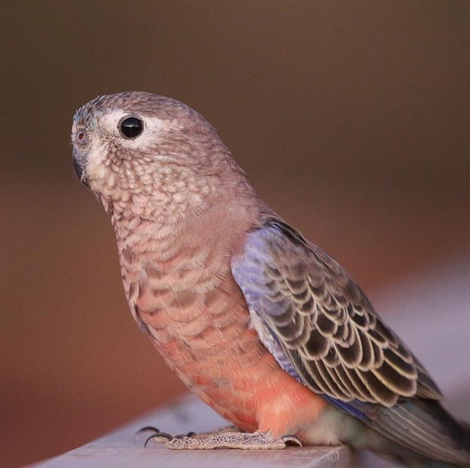 Bourke's Parrot, often sighted at Nallan Station.. bring your camera!