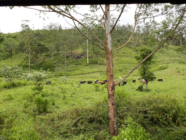 Free range Cow Herd
