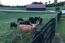 This is a picture of our farm and cattle.