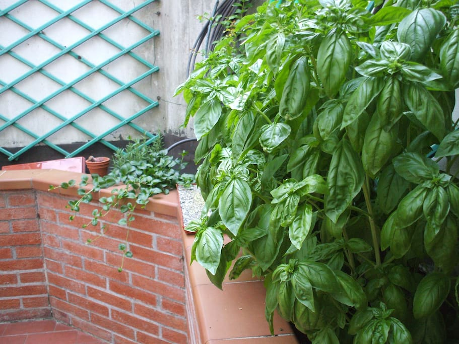 Basilico e altre piante (email hidden)r cucinare! - Basil and other aromatic herbs