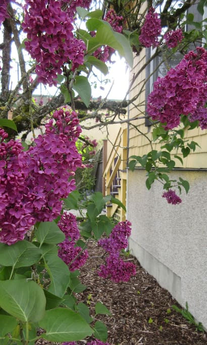 The lilacs tree is in full bloom, stop for a sniff on your short walk to downtown shops, waterfront and night life.