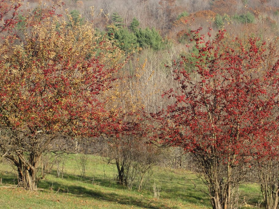 crabbapple trees in our field in the fall