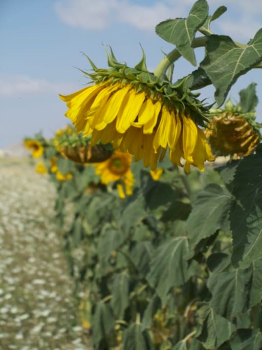 Sunflowers in our fields at the village...